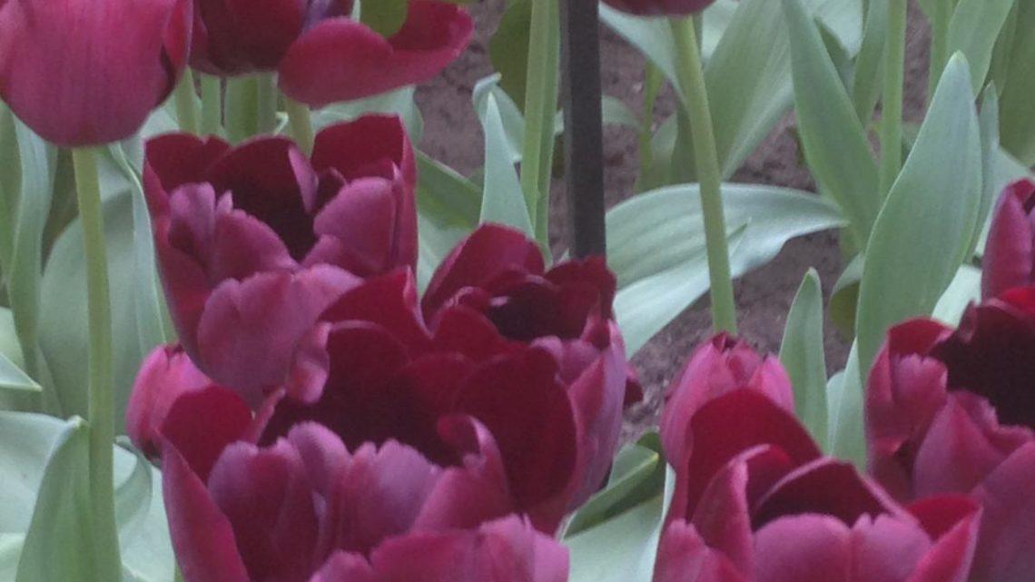 Amsterdam: una primavera tra i tulipani?